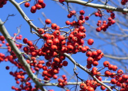Crataegus_viridis_'Winter_King'_1