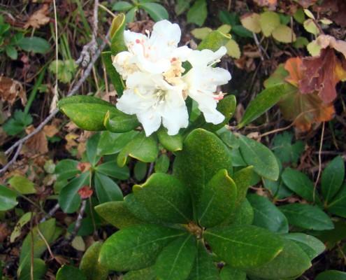 Rhododendron_caucasicum